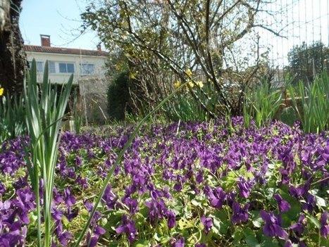 Autres vues des violettes de LOU ! | The Blog's Revue by OlivierSC | Scoop.it