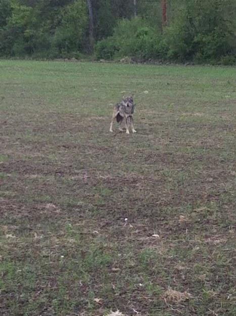 Ils voient un loup et le photographient   Zoologie et Ethologie   Scoop.it