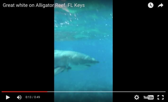 Great white shark spotted swimming on Alligator Reef off Islamorada in the Florida Keys | Scuba Diving News | Scoop.it