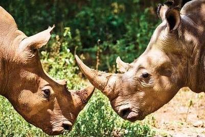 15 years behind bars for rhino poachers | What's Happening to Africa's Rhino? | Scoop.it