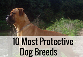 10 Most Protective Dog Breeds | Dog Lovers | Scoop.it