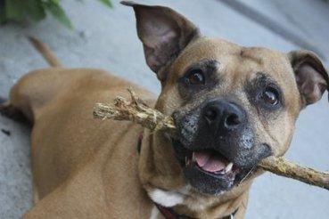 Le pitbull, un chien comme les autres | Stéphanie Vallet | Animaux | CaniCatNews-actualité | Scoop.it