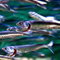 Caribbean sardine collapse linked to climate change - SciDev.Net | Sustain Our Earth | Scoop.it