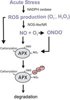 Nitric oxide is a ubiquitous signal for maintaining redox balance in plant cells: regulation of ascorbate peroxidase as a case study | Plant-Microbe Interaction | Scoop.it