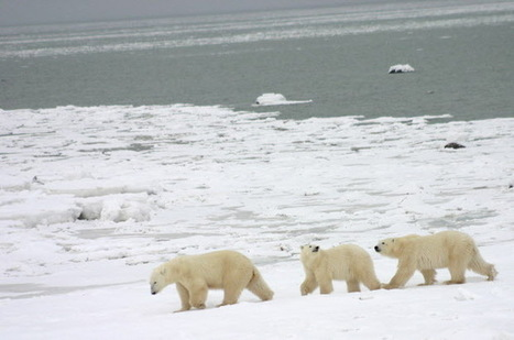 Bears from space: scientists try to count polar bears using satellite imagery - Edmonton Journal   Remote Sensing   Scoop.it