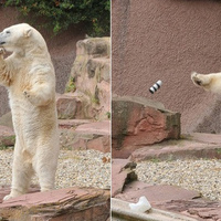 Watching This Polar Bear Smash a $2000 Camera Lens Is Surprisingly Cute - Gizmodo | Photography Today | Scoop.it