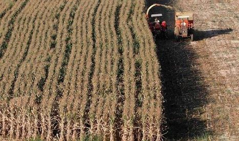 China approves modified corn import   MAIZE   Scoop.it
