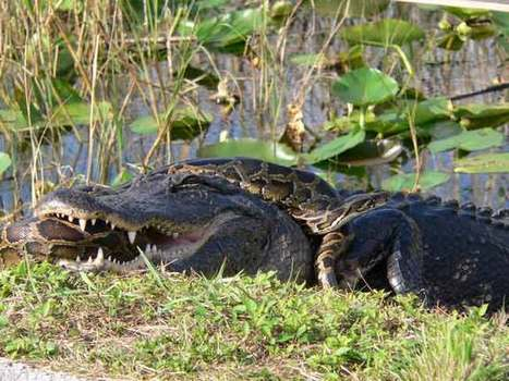 Exotic Pets Turn Invasive, Threatening Florida - LiveScience.com | Biology@BellaOnline | Scoop.it