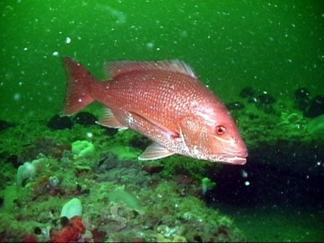 Overfishing 101: How Ocean Fish Populations are Managed in the U.S. | Observatory Water® | Scoop.it