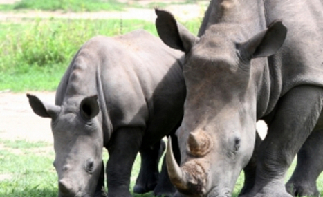 Rhino Poachers arrested in Kruger Park | NGOs in Human Rights, Peace and Development | Scoop.it