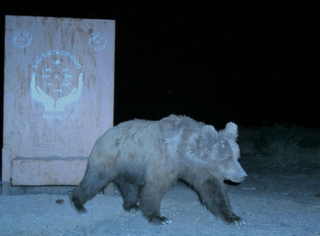 Last 22 Gobi Bears Endangered by Climate Change in Mongolia | Climate change challenges | Scoop.it