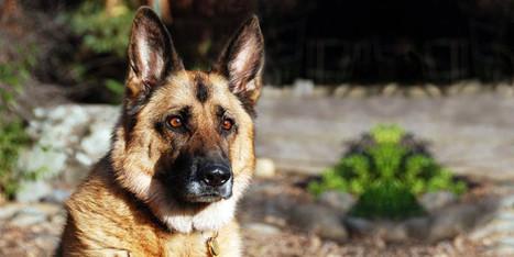 Pastore Tedesco: un cane di carattere, nobile e prezioso   best5.it   Vari   Scoop.it