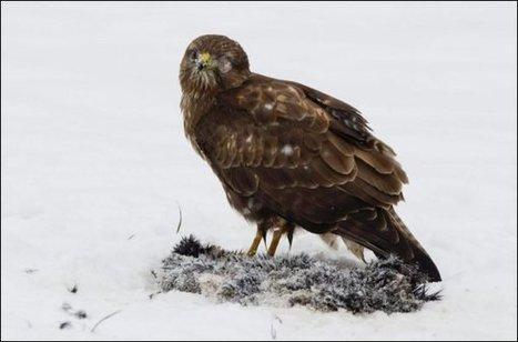 Poussés par le froid, les rapaces meurent écrasés | Sauvegarde et Protection des animaux | Scoop.it