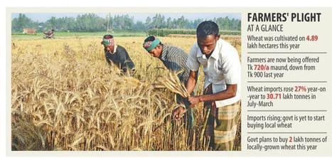 Bangladesh: Wheat brings no cheers to farmers | WHEAT | Scoop.it