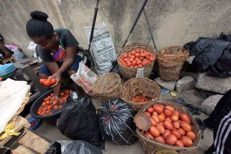 Une larve ruine la production nigériane de tomates | EntomoNews | Scoop.it