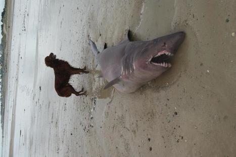 Agon-Coutainville : un requin s'échoue ! | La Manche Libre coutances | Actu Basse-Normandie (La Manche Libre) | Scoop.it