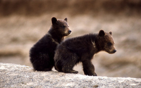 Baby Bear Cubs, Wolves, Wolf Pups Killed On Site In Alaska | Global Animal | Nature Animals humankind | Scoop.it