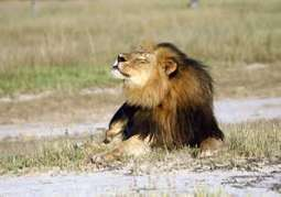 Cecil the lion's death has triggered changes in the safari hunt industry | Wildlife News | Scoop.it