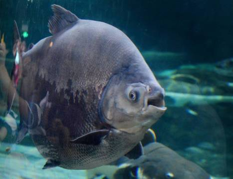 #Men in #Sweden #warned after #sighting of #testicle-eating #fish ~ pls 'read below''...   Rescue our Ocean's & it's species from Man's Pollution!   Scoop.it