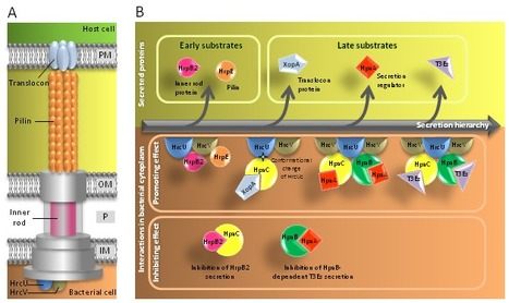 Front. Plant Sci.: Type III chaperones & Co in bacterial plant pathogens: a set of specialized bodyguards mediating effector delivery (2013) | Effectors and Plant Immunity | Scoop.it