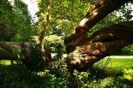 Le monumental catalpa de Pleudihen s Rance, Côtes d'Armor   La parole de l'arbre   Scoop.it