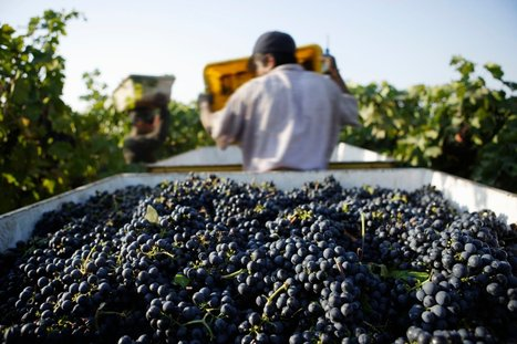 The Pleasures of America's Oldest Vines | Southern California Wine and Craft Spirits Journal | Scoop.it