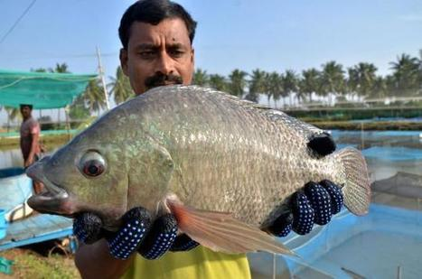 """Genetically improved Tilapia will boost marine exports of A.P."" 