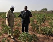 La FAO mise sur le développement du manioc en Afrique sahélienne | Child Protection and food security in Chad | Scoop.it
