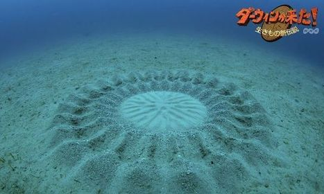 Mystery Underwater Sand Circles: A Little Fishy? : DNews | SJC Science | Scoop.it