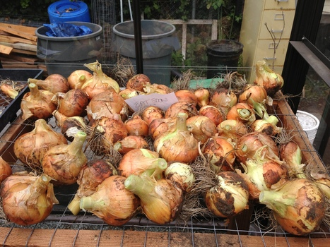 We finally harvested our softball sized USF Garden onions! | Plants, Fungi, & Urban Agriculture | Scoop.it
