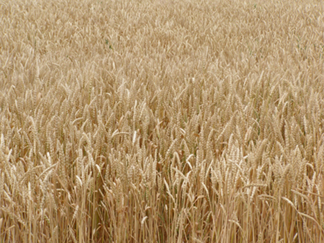 Canadien Grain Comission Goes Through With Wheat Class Changes | WHEAT | Scoop.it