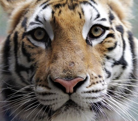 Sick Tiger Cub Rescued From Circus Makes Incredible Recovery | Our Evolving Earth | Scoop.it