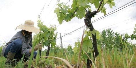 Quatre AOC en sursis dans le vignoble bergeracois ? | Agriculture en Dordogne | Scoop.it