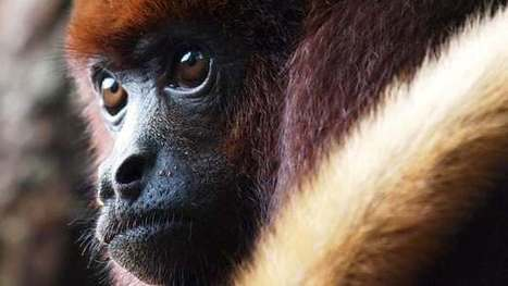 Monkeys in captivity start to resemble humans – in their guts | Longevity science | Scoop.it