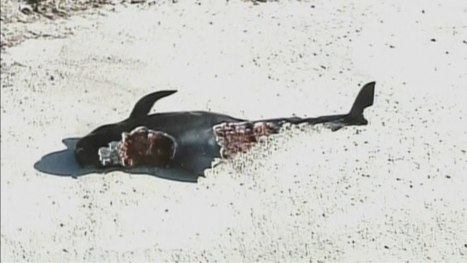 Dozens of Pilot Whales Beached in Florida National Park | Michel Braunstein Underwater Photography News | Scoop.it