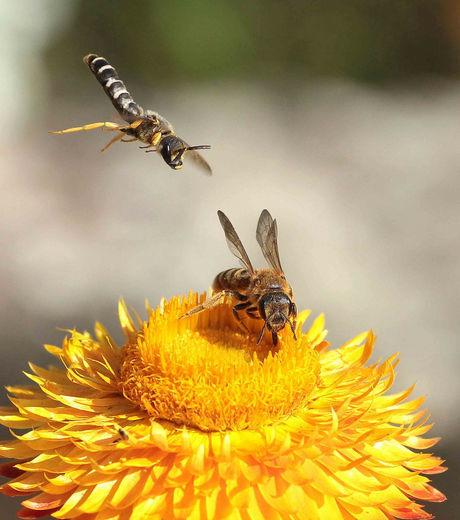 Comment la reine des abeilles décide du futur rôle de ses sujets | EntomoNews | Scoop.it
