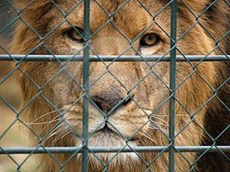 'Canned' Duplicity and Decline | Trophy Hunting: It's Impact on Wildlife and People | Scoop.it