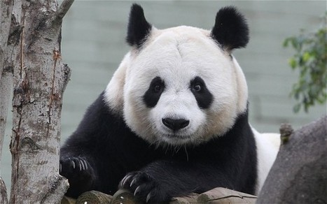 Edinburgh Zoo panda Tian Tian has conceived | My Scotland | Scoop.it