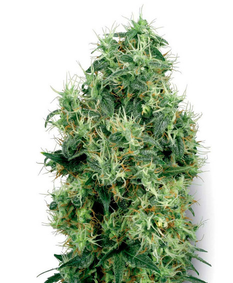White Gold Feminizada - Semillas de Marihuana | Semillas de Marihuana | Scoop.it