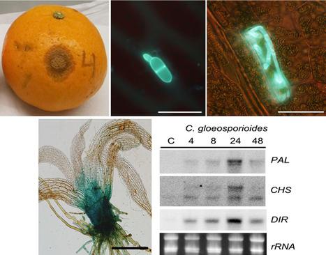 Physcomitrella patens Activates Defense Responses against the Pathogen Colletotrichum gloeosporioides | plant cell genetics | Scoop.it