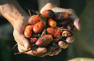 Researchers Probe the Potential Health Benefits of Palm Oil | forest gardening | Scoop.it