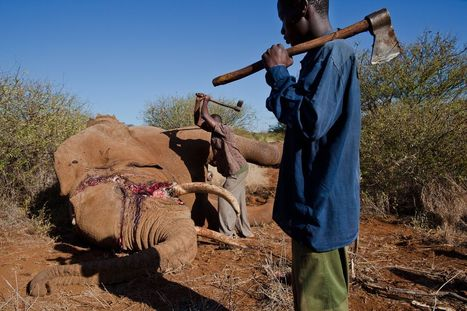 Elephant Ivory Trade   Climate Finance   Scoop.it