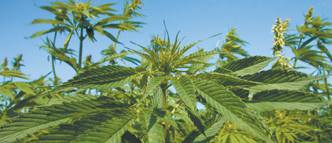 Hemp takes off in S. Korea - The Western Producer | Farming, Forests, Water, Fishing and Environment | Scoop.it