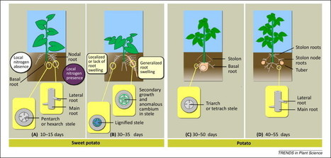 Root architecture and root and tuber crop productivity | biotechnology | Scoop.it