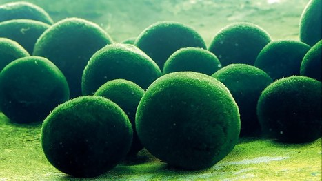 Thousands of Green Balls Descend on Australian Beach   INTRODUCTION TO THE SOCIAL SCIENCES DIGITAL TEXTBOOK(PSYCHOLOGY-ECONOMICS-SOCIOLOGY):MIKE BUSARELLO   Scoop.it
