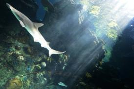 Pacific sharks disappearing into soup: study | All about water, the oceans, environmental issues | Scoop.it