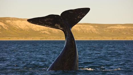 Les baleines franches australes sont de retour en Argentine | Zones humides - Ramsar - Océans | Scoop.it