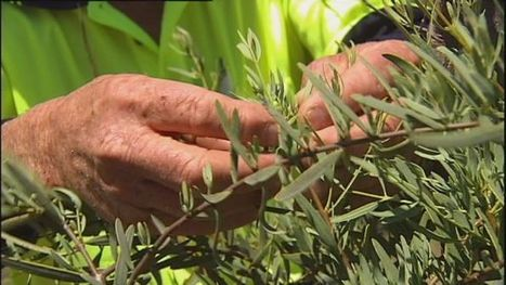 Illegal sandalwood trade growing in WA | Australian Plants on the Web | Scoop.it