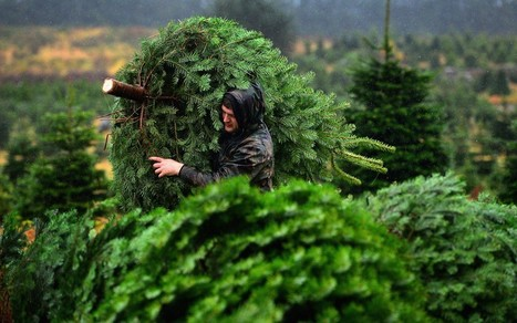 Soggy weather prompts bumper crop of Christmas trees - Telegraph | Microeconomics - Markets in action | Scoop.it