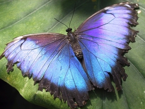 TED Conferences Use Security Technology Inspired by Butterflies | Biomimicry | Scoop.it
